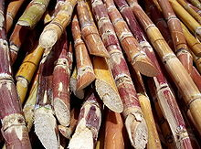Louisiana Sugar Cane